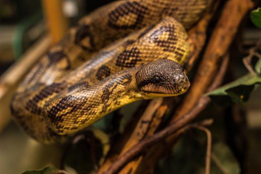 Kače – tudi madagaskarski drevesni udav – so mrzlokrvna bitja