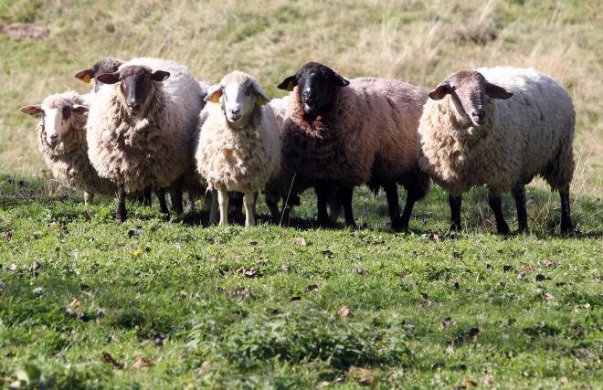 Čreda ovac, desni je oven